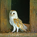 Barn owl NottsWT (cpt John Smith)
