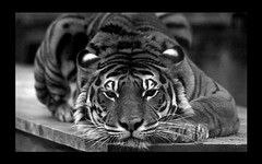 Tiger at rest (The_Old_Grey_Wolf) Tags: cat big tiger yellowgroup finegold 10faves eliteclub flickraward blackwhiteaward flickrbronzeaward greengroup colorsoftheheart redgroup1 goldenartists thesunshinegroup naturewildafricalondonzoocannonrebelg