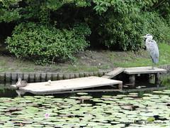 DSC02218 (Christian Kaden) Tags: japan kansai kioto kyoto ryoanji tempel temple