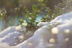 (drfugo) Tags: winter plants sun snow cold green canon sussex frozen frost bokeh 58mm helios 442 f20 canoneos450d helios44258mmf20