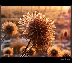 Soaking Up The Sunrise. (Picture post.) Tags: winter macro sunrise interestingness frost burdock backlighting seedheads platinumheartaward mygearandme mygearandmepremium blinkagain bestofblinkwinners