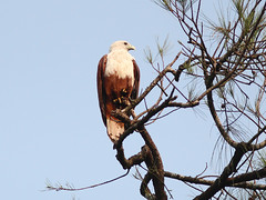 Brahminy Kite (SivamDesign) Tags: kite bird fauna canon eos rebel kiss x4 seaeagle redbacked brahminykite haliasturindus brahminy 550d canonef300mmf4lisusm t2i redbackedseaeagle