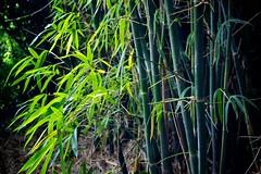 Bamboo in the light (Deb Jones1) Tags: garden park beauty green flora botanical vista places travel trees bamboo debjones1 flickrduel canon australia
