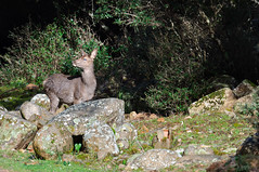 Blind - Cieca ad un Occhio (2.0) (Rob McFrey) Tags: sardegna wild italy mountain nature animal fauna nikon italia sardinia blind natura rob deer campagna roberto nikkor montagna animali vr foresta cervo 70300 sarda cieco d90 villacidro selvatica montimannu montelinas cervosardo cervuselaphuscorsicanus nikkor70300mmf4556gedvr mcfrey defraia
