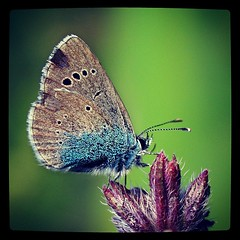 spotted butterfly (VIVIAN GEROGIANNI) Tags: blue flower macro nature butterfly insect square photography fly flying colorful purple small insects spots liftoff squareformat spotted instagramapp