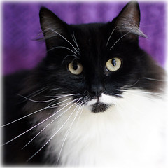 What's in a name? (hehaden) Tags: rescue black face cat square kitty tuxedo tux shite longhaired bestofcats
