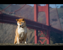 Suki and the Bridge (kaoni701) Tags: sanfrancisco portrait dog goldengatebridge suki shibainu v1 70300 ggb ft1  nikon1