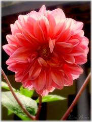 Dlia - Quinta de Flores (Aline Alves 2014 OFF) Tags: flores flower nature passion paixes
