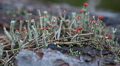 Cladonia polydactyla (Green Light Images is on Ipernity :)) Tags: scotland lichen cladonia perthandkinross cladoniaceae dsc8881