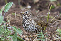 Song Thrush (Turdus philomelos) (Panayotis1) Tags: nature birds aves greece animalia turdus songthrush passeriformes turdusphilomelos turdidae chordata  canonef400mmf56lusm     kenkopro300afdgx14x chimaros