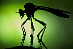 Robberfly silhouette (pbertner) Tags: park backlight paul national flashlight madagascar robber diptera asilidae andasibe macrolife bertner pbertner