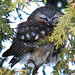 Saw-whet Owl in the cedars. Photo: Ted Mack, Saranac Lake NY.