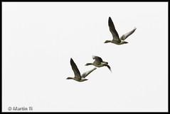 Grauwe ganzen (Martin Ti) Tags: ganzen alblasserwaard goudriaan grauweganzen slingeland
