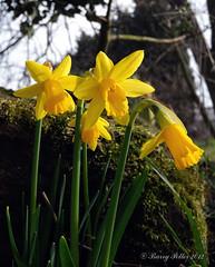 Spring daffodills (Barry Potter (EdenMedia)) Tags: nikon yorkshire daffodils springflowers northyorkshire narcissus springbulbs kirkhammerton barrypotter yabbadabbadoo daffodilbulb nikoncoolpixp7100 barrypotternet edenmedia barrypotteredenmedia