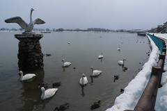P1140479 (Daniel Kanda) Tags: park bridge winter japan march swan panasonic  niigata messe hakusan 2012 bandai   bandaibridge     hyouko