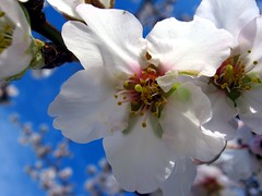 blooming almond 2 (SS) Tags: above camera new morning blue light red sky italy orange brown white flower macro green nature colors beautiful weather yellow composition contrast canon garden photography countryside spring focus mood dof view purple angle wind bokeh pov walk branches year perspective gimp page framing fiore bianco depth tone marche fabriano celeste blooming noseup natureselegantshots a480 fleursetpaysages