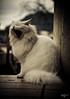 Uma fração de segundo (Photo Ferreira) Tags: brazil white branco brasil cat canon gato santacatarina whitecat sono bocejo markii joaçaba gatobranco 5dmarkii felipeferreira