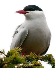 Arctic tern in Lake Clark National Park and Pr...