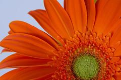 Gerber Daisy 02 (C-Dals) Tags: orange flower nikon keep nikkor gerberdaisy sh101 1855mmf3556gvr d5100