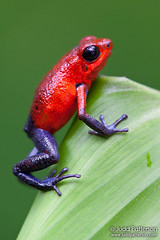 Strawberry poison-dart frog (Judd Patterson) Tags: costarica amphibians heredia anura strawberrypoisondartfrog