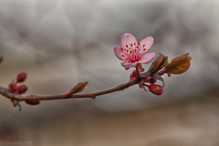 Resurgence from Gloom (GRO Photography) Tags: pink flower newjersey spring branch blossom bokeh gray bloom buds monmouthcounty floweringplum plumtrees