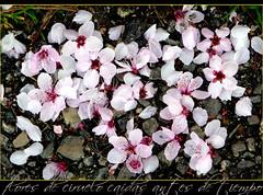flores de ciruelo caídas antes de tiempo