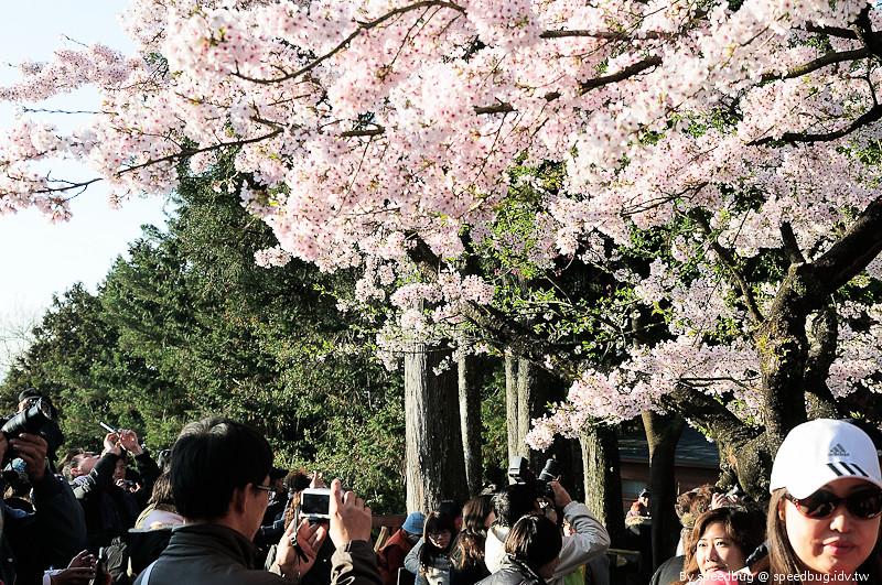 阿里山櫻花季25