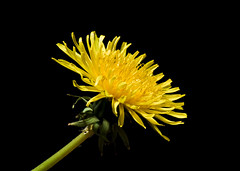 DSC_0429.jpg (LAWilkinson) Tags: flowers flower macro up nikon close petal 105mm d7000