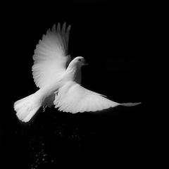 Despegando en la fuente. (jesusgag) Tags: blackandwhite bw byn pigeons palomas bestcapturesaoi elitegalleryaoi blinkagain flickrstruereflection1 me2youphotographylevel2 the~wonders~of~nature me2youphotographylevel1