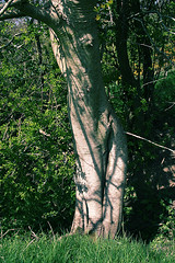 Tree in Tara - study 01 (aethernet) Tags: sun tree sunshine female tara ash meath sinuous clitoris pudenda
