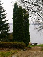 Zypressen (Sophia-Fatima) Tags: cypress zypresse schaalsee conifere zarrentin