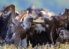 Griffon vultures (Gyps vulvus), Bulgaria