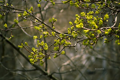 Spring (Zagros.os) Tags: flowers wallpaper tree green nature leaves photo leaf spring seasons bokeh