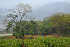 tea-picking-1 () Tags: china wuxi jiangsu chinesetea  teapicking