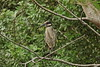 Yellow-crowned Night-Heron smudgy-brow female18pt5 20140327 (Kenneth Cole Schneider) Tags: florida miramar rookery yellowcrownednightheron