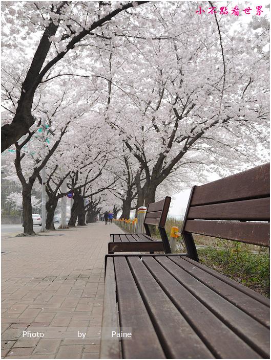 首爾汝矣島輪中路櫻花 (61).JPG