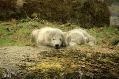 IMG_9978 (Fruehlingsstern) Tags: polarbear giovanna tierpark nobby eisbr hellabrunn nachwuchs nela