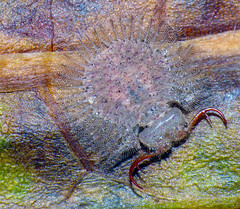 Larva of a nymphid lacewing Osmylops species (Simon Grove (TMAG)) Tags: australia tasmania neuroptera insecta flindersisland nymphidae tasmanianmuseumandartgallery osmylops bushblitz march2014 tmagzoology