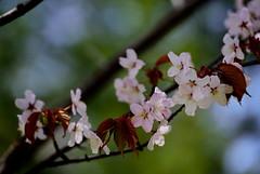 flower 810 (kaifudo) Tags: flower japan sapporo nikon hokkaido  d750  sakura nikkor afs  70200mm    70200mmf28gedvrii hokkaidogovernorsofficialresidence