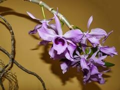 Dendrobium anosmum species orchid (nolehace) Tags: dendrobium anosmum species orchid 416 flower bloom plant spring nolehace fz1000 sanfrancisco