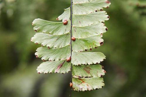 Schildläuse (Coccidae)