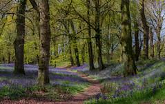 Blackbury bluebells (snowyturner) Tags: trees light bluebells woodland spring path devon