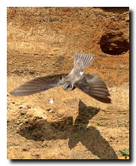 Sand Martins at Barmston - East Yorkshire 23 (andyrotchell) Tags: eastyorkshire barmston sandmartins nestinginthecliffs