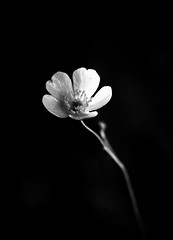 Untitled (Raghunathan Anbazhagan) Tags: flowers blackandwhite india white abstract black flower art nature forest canon garden woods fineart fine minimal nationalgeographic natgeo rootsofindia canon70d
