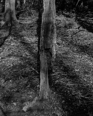 Rotten from the root and still standing again (Jonathan Carr) Tags: shadow bw white abstract black tree monochrome rural landscape dead death decay 4x5 abstraction rotten northeast largeformat 5x4 theguardswood