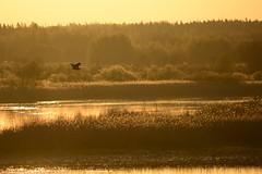 Spring morning in Teemuluoto (Jani Katajisto) Tags: bird water sunrise delta