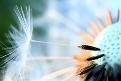 blowball fun (frankieleon) Tags: light plant macro nature pod weed lift wind air seed floating blow dandelion seeds float quill wispy wisp taraxacum blowball officinale wheniwasachild