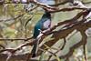 Elegant Trogon (Trogon elegans) (Dustin Murray Photography) Tags: birds birding maderacanyon southeastarizona eleganttrogon trogonelegans arizonabirds dustinmurrayphotography dustinmurray