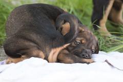 Akamaru (Maria Zielonka) Tags: dog puppy photography mix puppies fotografie fotografieren outdoor shepherd maria hund doberman hybrid mischling welpe schferhund dobermann welpen zielonka schferhunddobermann