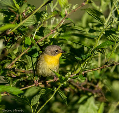 Common Yellowthroat Female (b88harris) Tags: county light sunlight white green nature yellow female nikon exposure natural pennsylvania 300mm nikkor migration common dauphin yellowthroat specanimal d7200